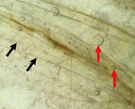 Les flèches noires indiquent des feuillets de mica, les rouges des bulles d'eau piégées et en vert-marron il s'agit de matériaux organiques. Cliquez pour agrandir. Crédit : Helen Greenwood Hansma, UC Santa Barbara.