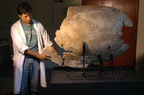 """Carapace fossile de tortue géante """"Charapa""""montrant une morsure de 60 cm produite par Purussaurus (UNMSM). Lors de l'attaque, la tortue a perdu la patte gauche, un morceau de la carapace et la queue. La présence d'une excroissance osseuse sur la zone de morsure montre que l'animal a survécu. © P. Baby - IRD , DR"""
