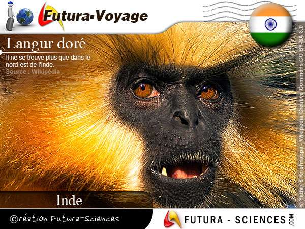 Langur doré Nord-Est de l'Inde