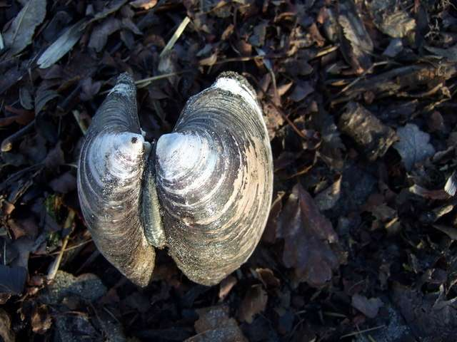 Les bivalves Arctica islandica vivent dans les eaux froides de l'Atlantique. Ce sont des mollusques comestibles exploités commercialement. © ceridwen, geograph.org.uk, cc by sa 2.0