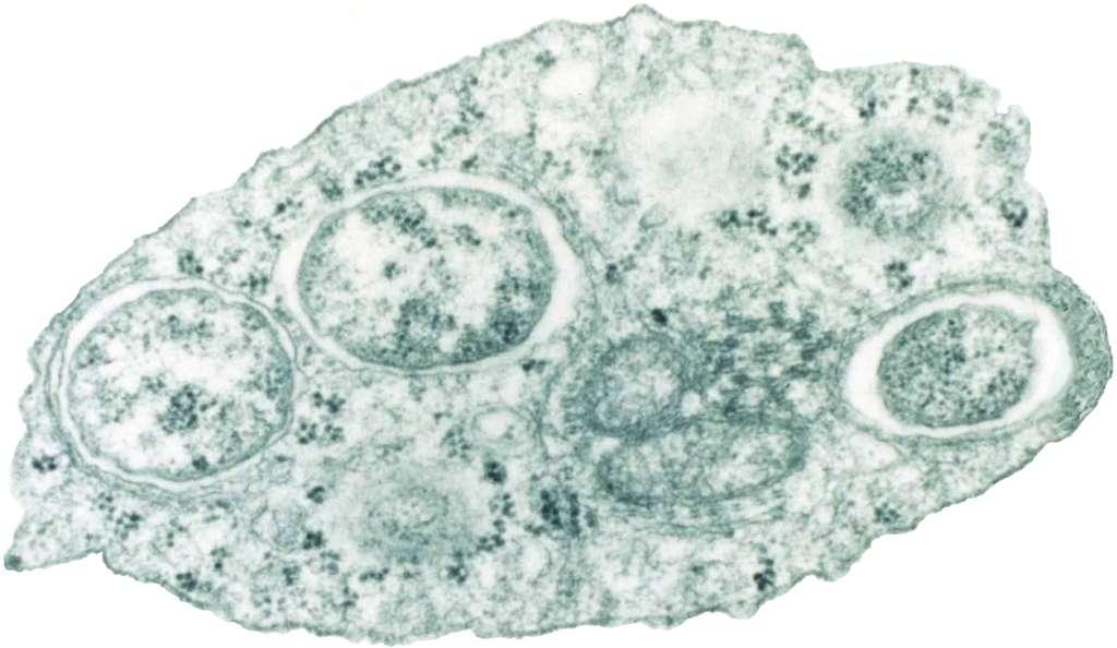 Des bactéries Wolbachia (les trois cercles principaux : deux à gauche et un à droite) dans une cellule d'insecte. © Scott O'Neill, CC by 2.5