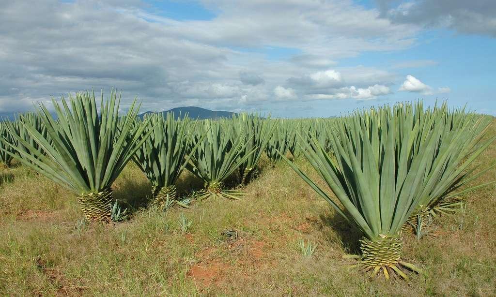 Plantation de sisal à Berenty