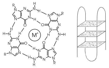 Le G-quadruplexe (à gauche) est constitué de quatre molécules de guanine fixées les unes aux autres comme des enfants formant une ronde. La structure est stabilisée par un cation, un ion positif (ici représenté par M+) qui peut être un ion potassium ou sodium. Ces G-quadruplexes, de forme plane et à peu près carrée, peuvent former des sortes d'étagères (à droite) aux coins desquelles vient se fixer un brin d'ADN (ligne noire) qui se replie trois fois. On obtient ainsi ce qui semble être quatre brins parallèles. © Domaine public