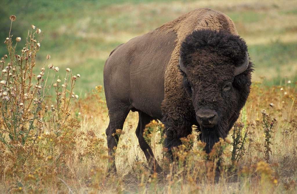 Dans les grandes plaines d'Amérique du Nord, la présence de bisons en liberté permet aux prairies de retrouver leur biodiversité passé. © Agricultural Research Service, K5680-1, Wikimedia Commons, DP