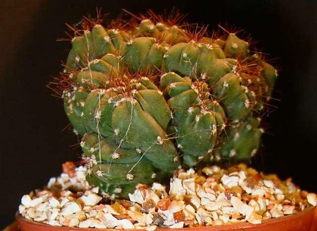 Cereux peruvianus