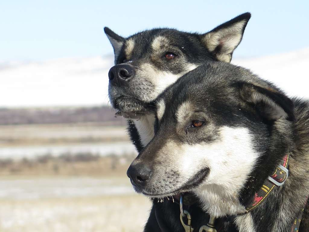 Deux chiens sur la dizaine que compte l'équipe. © Taïga