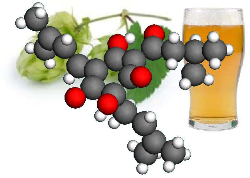 Les humulones, issues du houblon lors du brassage de la bière, confèrent à la boisson son goût particulier, permettent à la mousse de maintenir une certaine cohésion et ont des propriétés antibactériennes et antioxydantes. Ces molécules acides possèdent le plus souvent un cycle de cinq atomes de carbone. © Werner Kaminsky