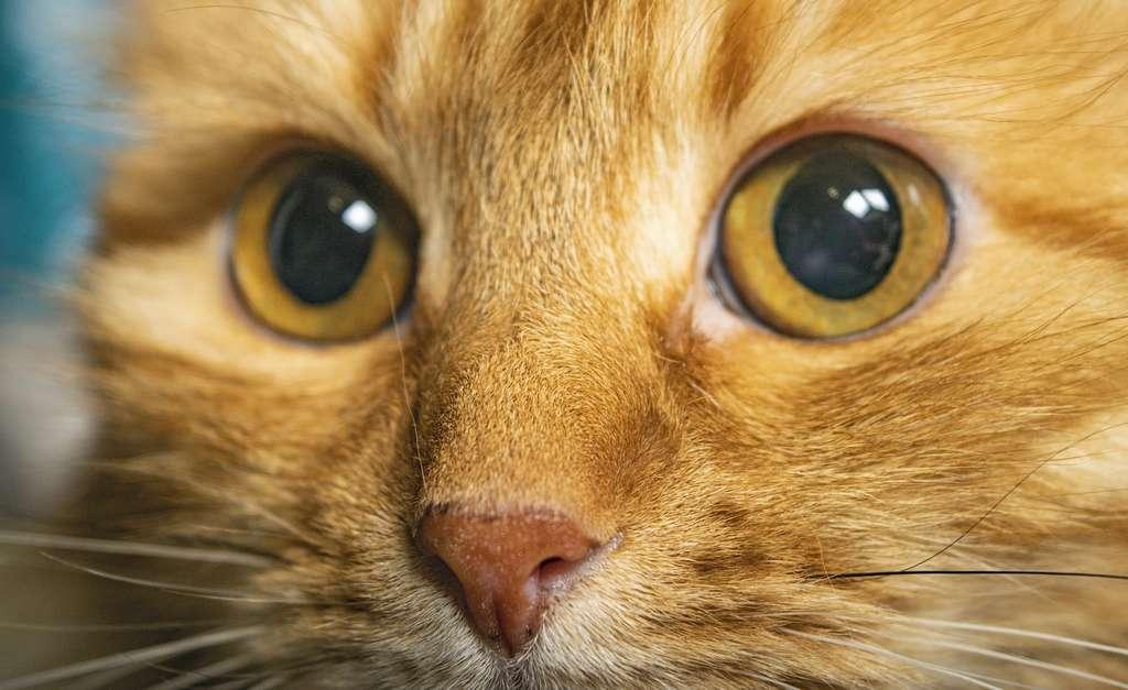 Les vidéos visionnées par les volontaires étaient centrées sur le visage des chats : leurs yeux, leur museau et leur bouche. © Андрей Захаров, Adobe Stock