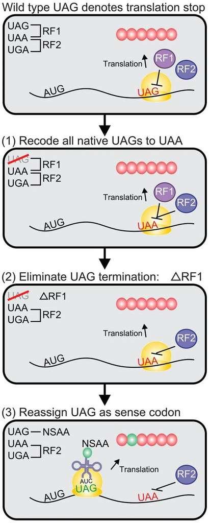 Ce schéma reprend les différentes étapes de l'expérience des chercheurs états-uniens. À partir d'un profil sauvage, le codon UAG est retiré de tous les gènes, et remplacé par UAA (1), qui est interprété comme un codon stop par RF1 et RF2. Puis on crée des mutants qui ne synthétisent plus RF1 (2). Ainsi, on peut réintroduire dans la partie codante du gène un codon UAG (3), qui va alors coder pour un acide aminé non conventionnel. © Marc Lajoie et al., Science