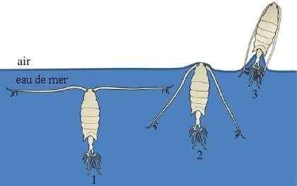 Le mouvement d'Anomalocera ornata pour effectuer son saut hors de l'eau. Dans un premier temps, le copépode déploie ses antennes (1), puis les rabat (2) ce qui le propulse hors de l'eau (3). La propulsion doit être suffisante pour contrebalancer la tension superficielle, dont l'effet est très important à cette échelle. © Gemmell et al. 2012, Proceedings of the Royal Society B