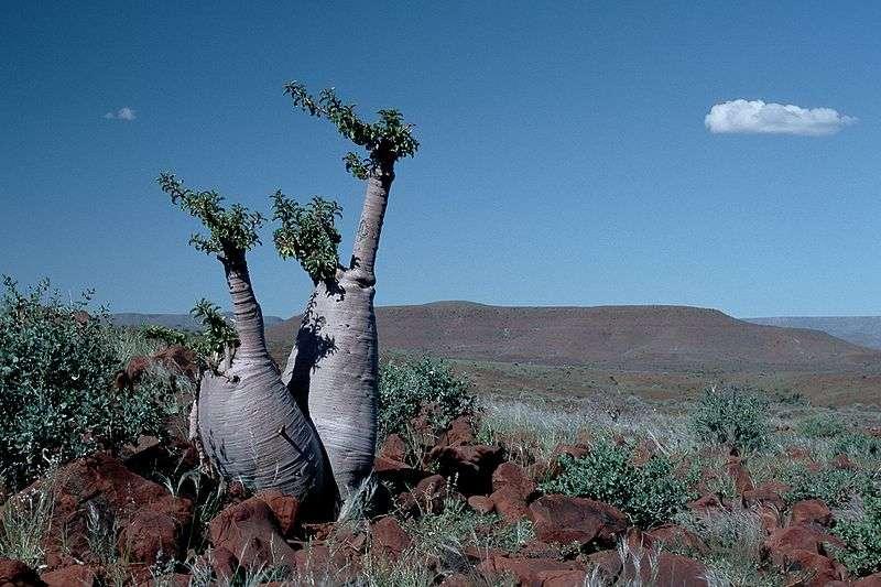 Arbre à bouteille en Namibie (Pachypodium lealii Welw.)