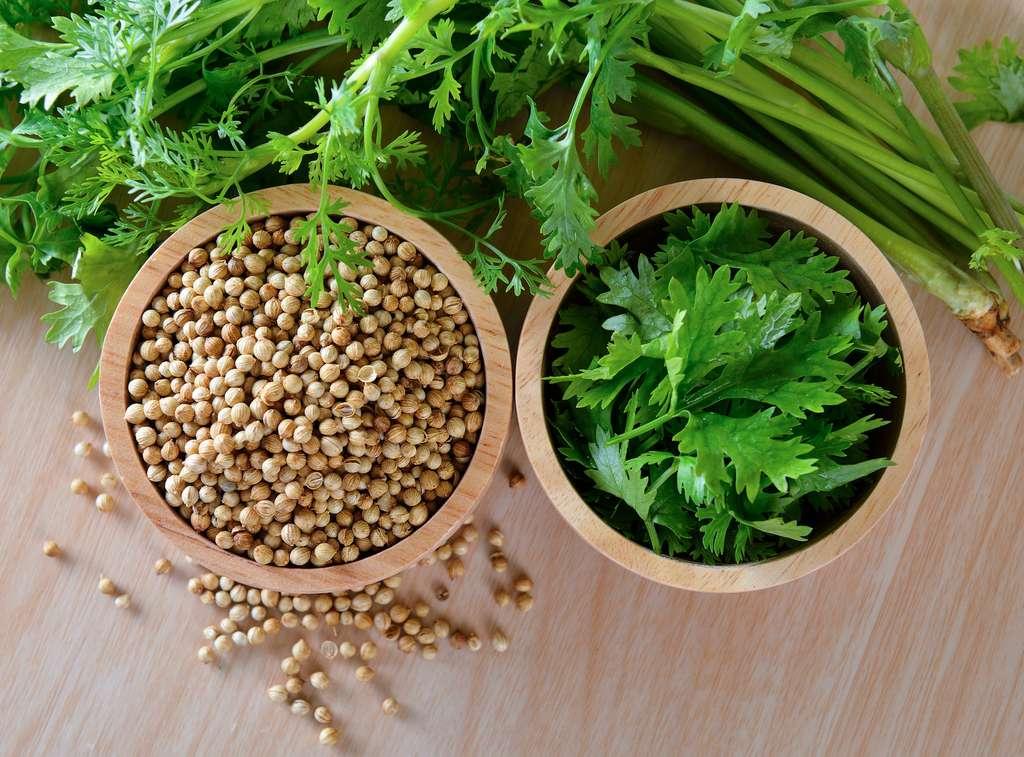 Les feuilles et les fruits séchés de la coriandre sont utilisés en cuisine. © sommai, Adobe Stock