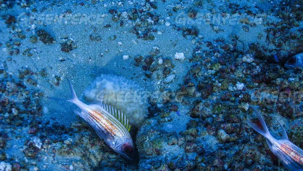La diversité des espèces de ce récif installé dans un environnement très particulier est un trésor pour les biologistes marins. © Greenpeace