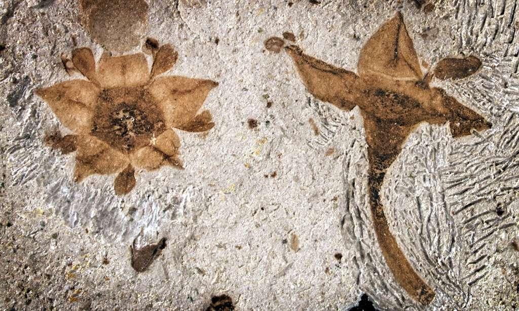 Ces deux fleurs se sont ouvertes il y a 65 millions d'années, au sud du Gondwana, dans un monde encore dévasté par les conséquences d'une catastrophe planétaire. © Nathan Jud