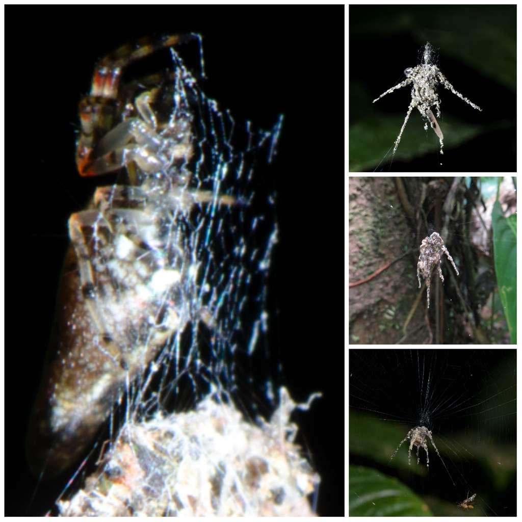 Les trois araignées de droite sont des fausses. Elles ont été construites par ce qui semble être une nouvelle espèce de Cyclosa (à gauche). Les membres de ce genre vivent principalement dans des milieux boisés. © Jeff Cremer, Phil Torres