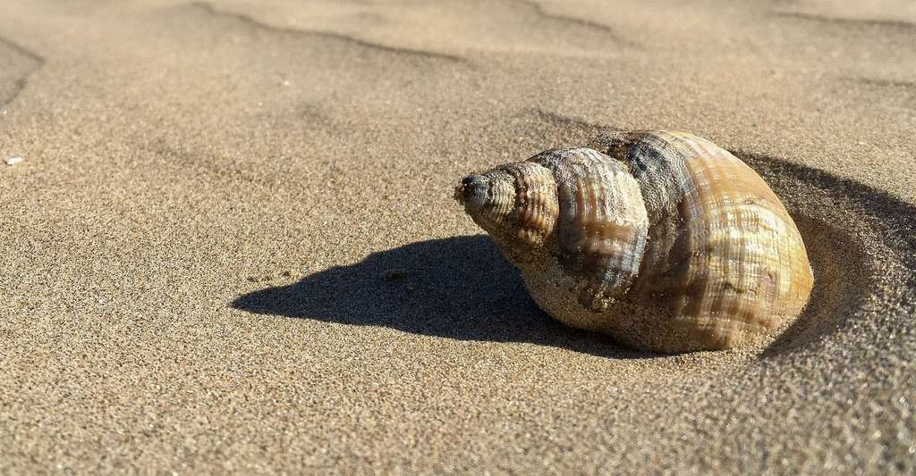 Conque, un mollusque à grande coquille bivalve. © LawriePhipps, Pixabay, DP