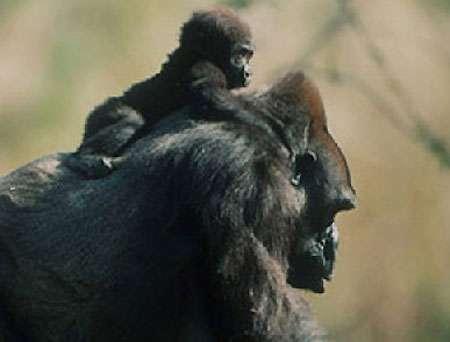 Gorille mère et son petit. © DR
