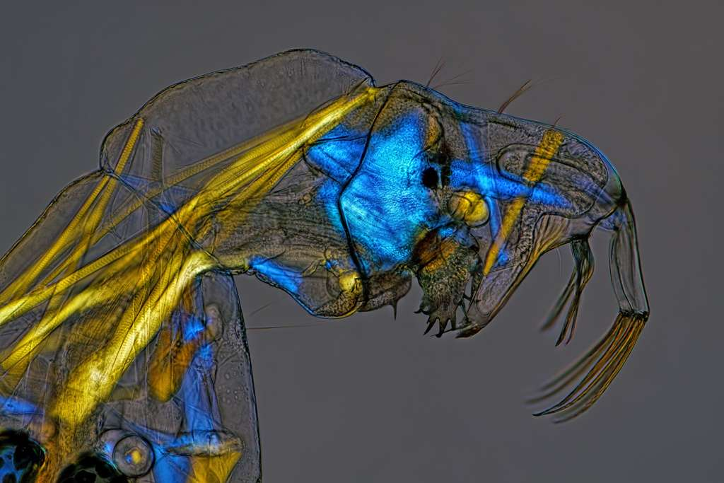Une larve de moucheron du genre Chaoborus