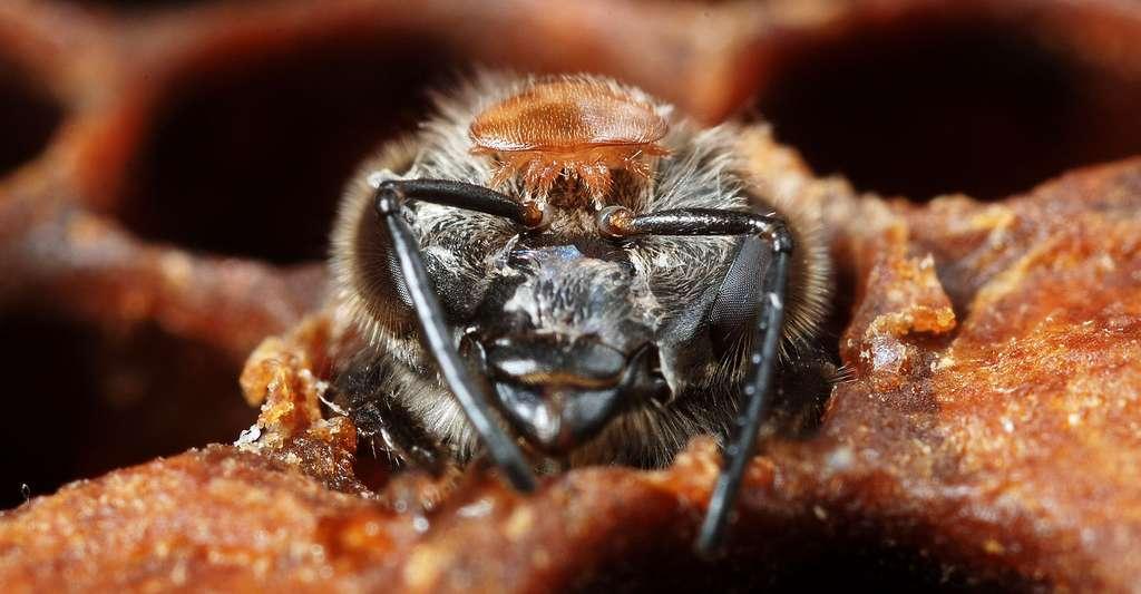 Gros plan sur un Varroa (un parasite) niché sur la tête d'une abeille. © Gilles San Martin, CC by-nc 2.0