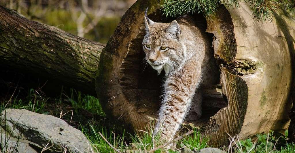 Le lynx est un animal qui a été réintroduit en Lorraine en 1983. © Skeeze, DP