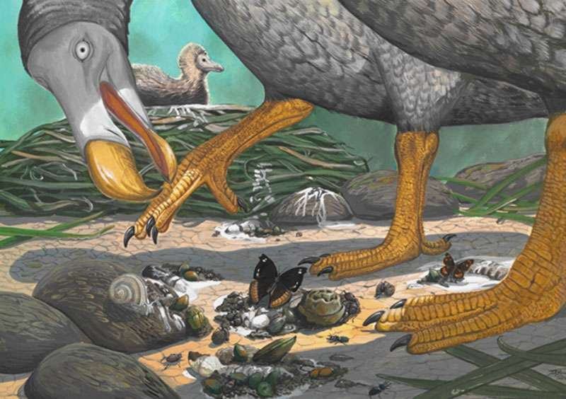 Une peinture de Julian Hume, co-auteur de l'article mais aussi écrivain et peintre. Un lien vers son site se trouve sur son nom ci-après. Il est montré ici en train de chercher des coquillages, mais son régime alimentaire n'est pas connu. On remarque le nid, posé à même le sol, une très mauvaise stratégie en présence de mammifères prédateurs. © Julian P. Hume
