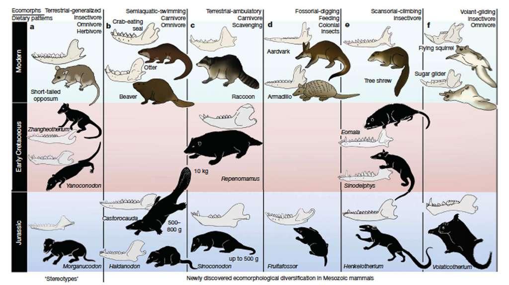 Diversité des mammifères du Secondaire. On retrouve des fouisseurs comme des animaux arboricoles. © Adapté de Zhe-Xi Luo, Nature, 2007