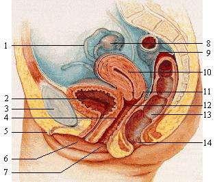 Sur ce schéma, le point G n'est pas signalé, car on ignore précisément sa localisation (s'il existe). Il pourrait se trouver à proximité des ligaments vésicopubiens (4), c'est-à-dire entre le vagin (7) et l'urètre (non signalé ici, qui correspond au canal qui relie la vessie (2) à l'extérieur du corps), à quelques centimètres de l'entrée du vagin. © Elf Sternberg, Wikipédia, cc by sa 3.0