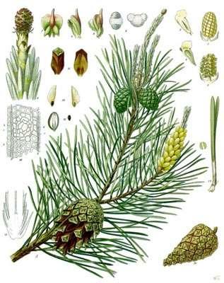 Pinus sylvestris © Wikipedia