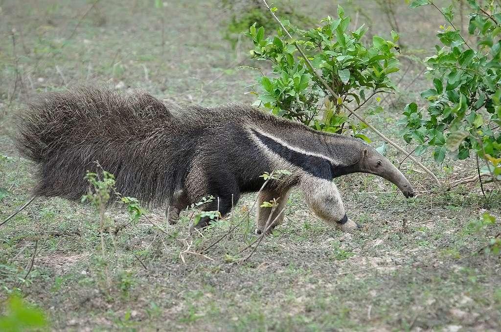 Le fourmilier géant arbore une queue aussi longue que son corps. © Claudio Timm, Flickr, cc by nc sa 2.0