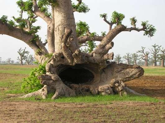 Baobab creux dans la forêt de Nguékokh (Sénégal) © S . Garnaud Reproduction et utilisation interdites