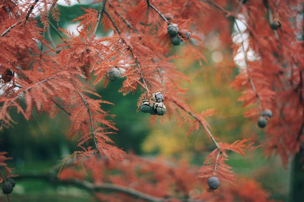 Contrairement aux autres cyprès, le cyprès chauve voit ses aiguilles virer au brun cuivré puis tomber à la fin de l'automne. © Juanedc.com, Flickr