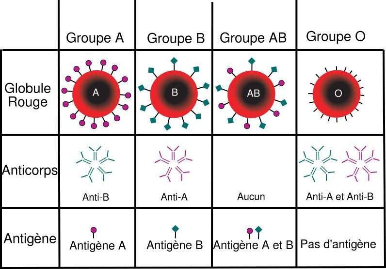 Le système ABO est le groupe sanguin le plus connu. Comme on peut le voir sur ce tableau, en fonction de son groupe sanguin on présente ou non des antigènes, ce qui définit en retour la présence de certains anticorps spécifiques. Ainsi, il est important lors d'une transfusion d'injecter du sang qui ne sera pas rejeté par le receveur. Il en va en réalité de même pour tous les groupes sanguins définis : le système rhésus, le sytème Kell, le système Langereis, le système Junior et tous les autres… © historicair, Wikipédia, DP