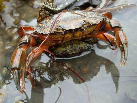 Crabe vert Carcinus maenas en copulation. Le mâle, rouge, et la femelle, qui vient juste de muer, sont accolés par la face ventrale. Le mâle maintient la femelle mais conserve sa mobilité. © Auguste Leroux, licence Creative Commons Paternité – Partage des conditions initiales à l'identique 3.0 Unported