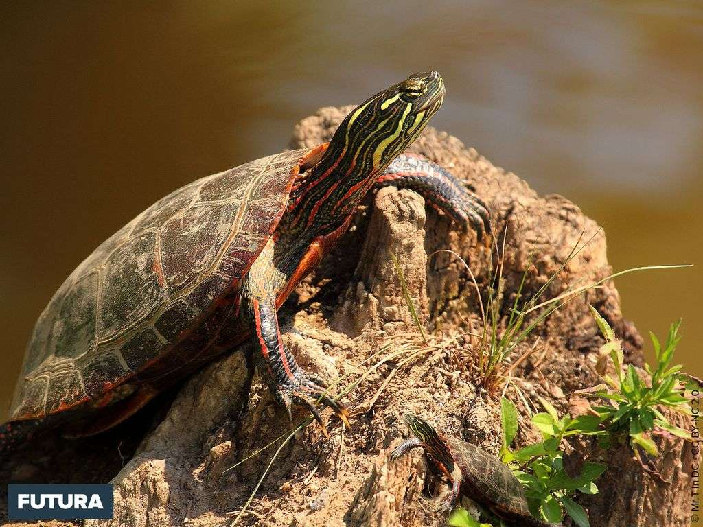 Tortue serpentine