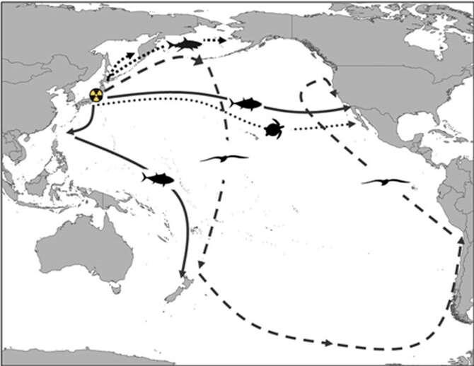 Le logo jaune indique le lieu de la catastrophe de Fukushima Daiichi survenue le 11 mars 2011. Les différentes flèches représentent les trajets migratoires réalisés par plusieurs espèces animales au départ des eaux nipponnes : le requin saumon (lignes supérieures avec de petits traits), le puffin fuligineux (longue ligne en traits), le thon rouge du Pacifique (lignes pleines) et la tortue Caouanne (tracé pointillé). © Madigan et al. 2012, Pnas