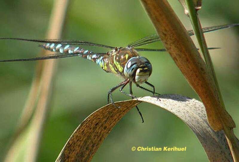 La libellule et sa métamorphose : tout un symbole