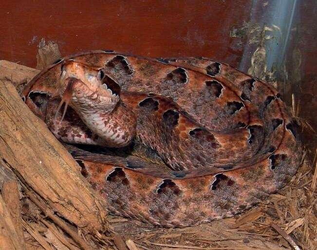 Le venin de ce serpent, Calloselasma rhodastoma, a permis l'identification d'une interaction moléculaire importante d'une part pour la coagulation, et d'autre part pour la propagation de certains cancers. © Al Coritz / Licence Creative Commons