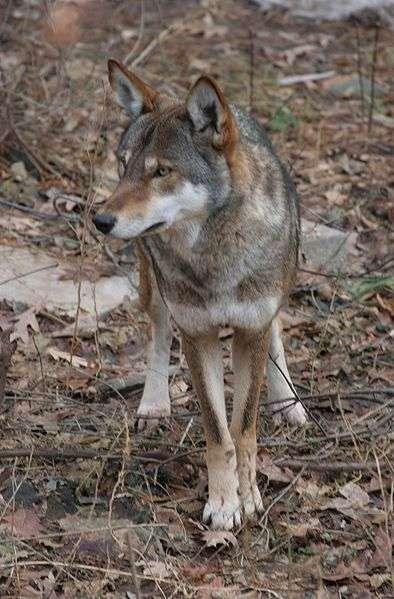 Loup rouge zoo de Syracuse NY. © Dave Pape, domaine public