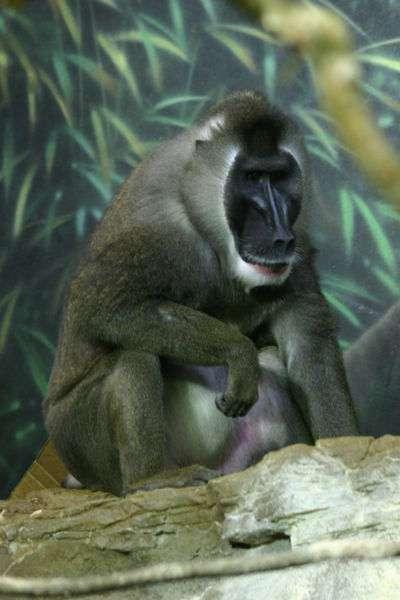 Le majestueux drill (Mandrillus leucophaeus) vit uniquement au Cameroun, au Niger et sur l'île de Bioko. Il est un des primates africains les plus menacés. © Wikimedia Commons