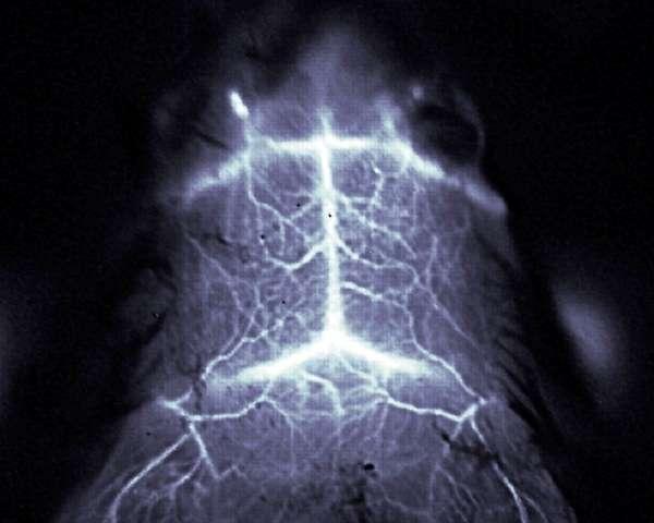 Sous l'action d'un laser émettant de la lumière infrarouge dans une bande de longueurs d'onde comprise entre 1.300 et 1.400 nanomètres, certains nanotubes de carbone deviennent fluorescents. Injectés dans le sang de souris, ces nanotubes permettent d'observer des détails fins de la circulation sanguine à la surface du cerveau de ces animaux alors qu'ils sont encore en vie et de façon non invasive. © Dai Lab