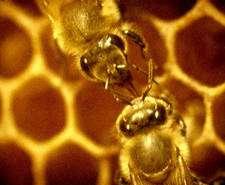 Une piqûre d'abeille peut provoquer un choc anaphylactique. © DR