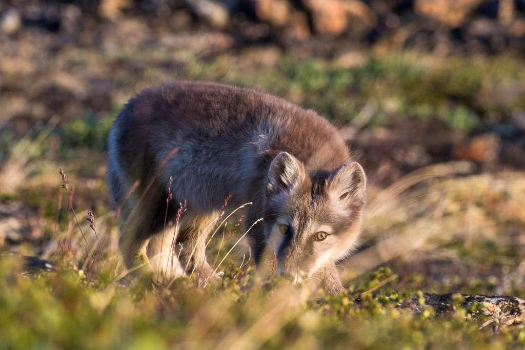 Le renard isatis et sa fourrure de camouflage