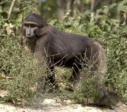 Jeune macaque de Tonkean © Georges Prats Reproduction et utilisation interdites