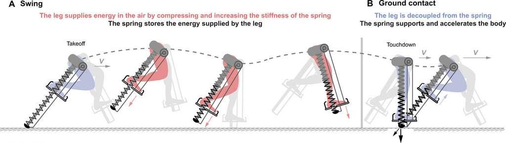 Le ressort emmagasine l'énergie fournie par le pied lors de la poussée au sol, et la restitue pour accélérer la course. © David Braun, Science Advances, 2020