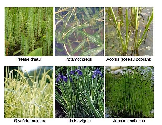 Plantes ripariennes. © pensezpoisson.com
