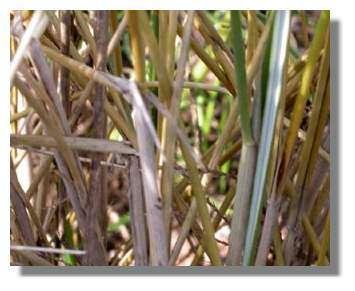 Figure 17. Détail du feuillage d'oyat. © Biologie et Multimedia