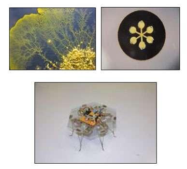 Le robot doté de Physarum polycephalum, un organisme vivant. © Soichiro Tsuda, Kobe University