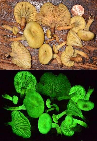 Les chercheurs racontent que les Neonothopanus gardneri éclairent presque assez pour servir de liseuse ! © Cassius V. Stevani, IQ-USP Brazil