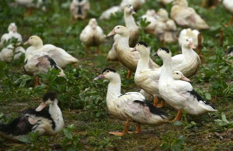 Face à la flambée du nombre d'élevages contaminés par la grippe aviaire dans le Sud-Ouest, des professionnels du foie gras poussaient jeudi les autorités sanitaires à procéder à des abattages préventifs de canards plus massifs. Sur la photo, élevage de canards à Mugron, le 29 décembre 2020. © Gaizka Iroz, AFP, Archives