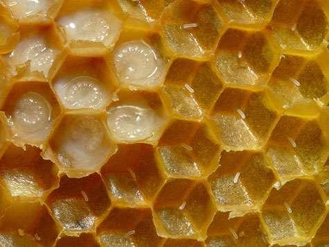 Rayon de cire d'abeilles domestiques portant des œufs et des larves. Les parrois des cellulles ont été enlevées. Les larves (des faux-bourdons) sont âgées de 3 à 4 jours. © Waugsberg Licence de documentation libre GNU, version 1.2